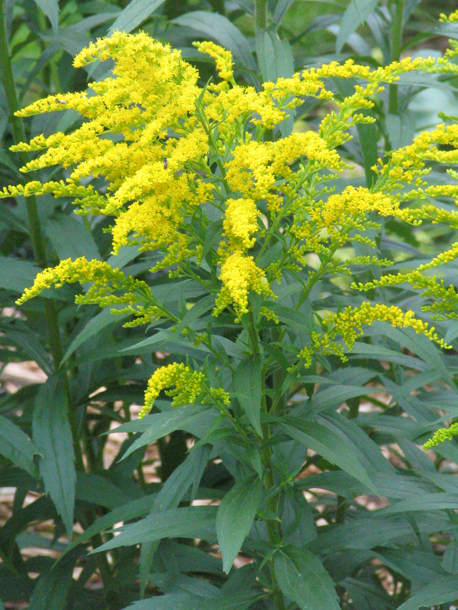 Goldenrod Yellow Flowering Plant Top Flowers Wallpaper