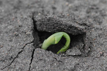 Corn seedling breaking through soil crust