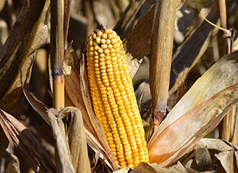image of yellow corn in field