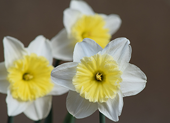 three yellow and white flowers