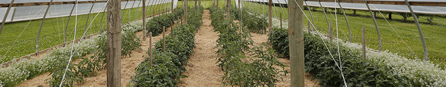 image of high tunnel tomato production