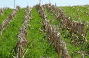 cover crop grass in corn stalks