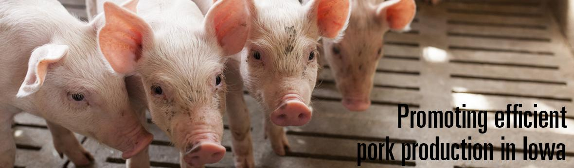 pigs in a barn