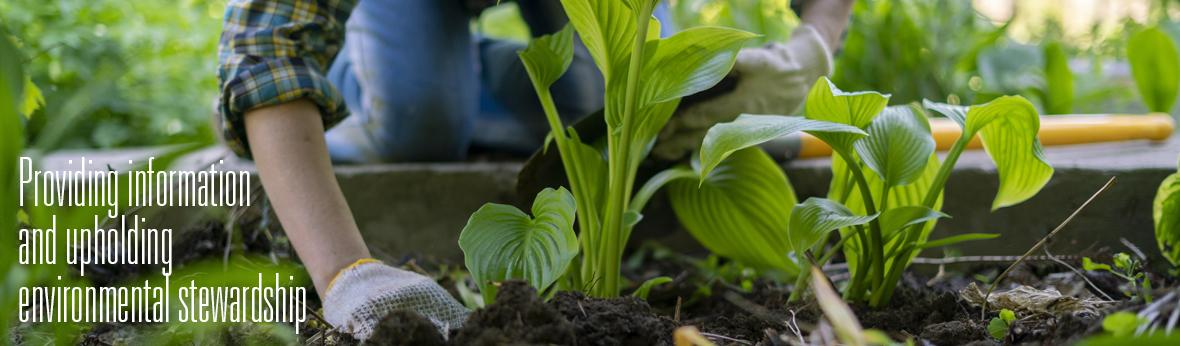 gardener plating hosta in dark soil