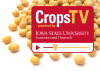 Corn Kernels with Crops TV Logo