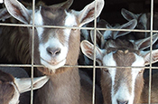 dairy goats looking through fence