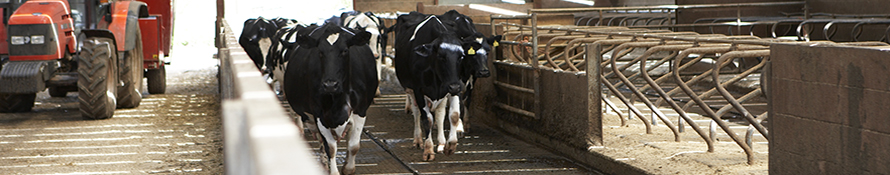 dairy cattle walking in barn