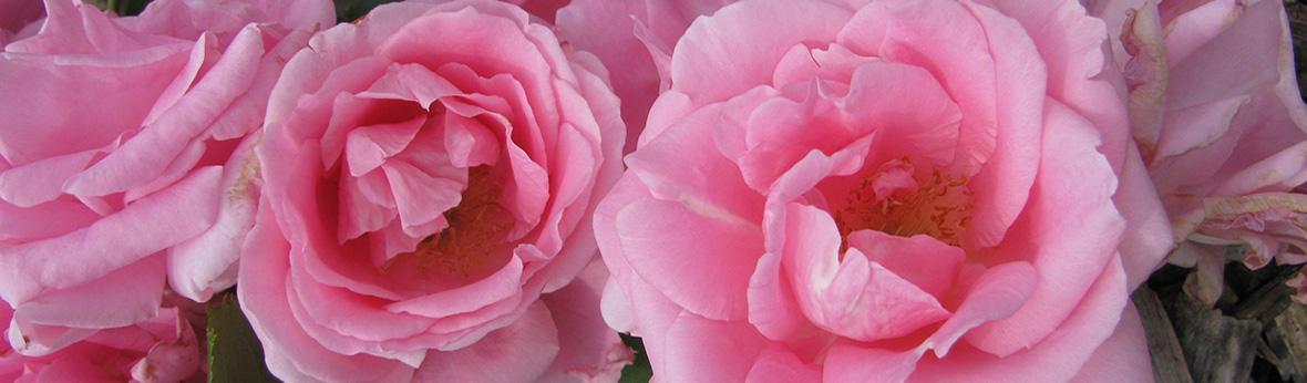 carefree beauty earth kind rose