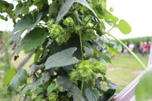 close up of hops buds