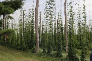 hops growing up a line