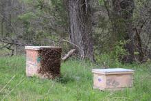 bees bearding and swarming around a hive