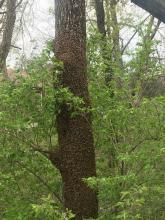 swarm of bees on a tree trunk