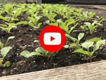 radish seedlings in a garden bed with video play button