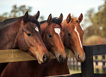 three horses standing at gate