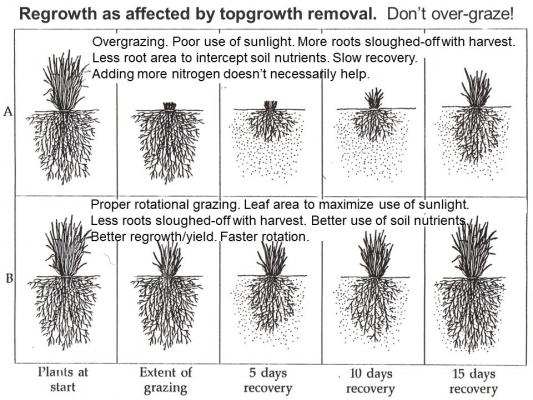Regrowth affected by top growth removal