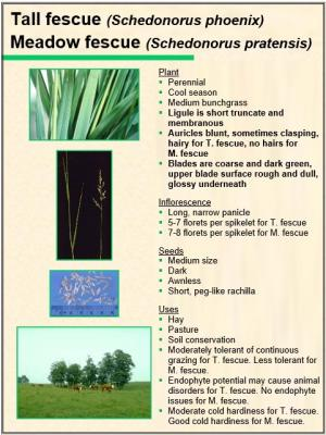 Meadow fescue and Tall fescue characteristics
