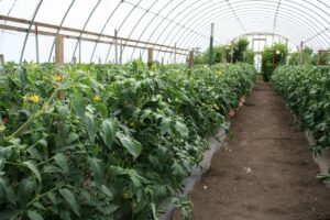 Tomato plants growing in high tunnel.