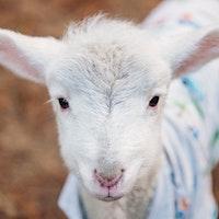 Lamb.