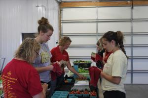 Many hands make light work when wiping tomatoes at C. Brown Gardens
