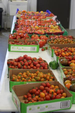 Boxes and boxes of tomatoes ready to be cleaned and packaged for the market.