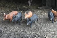 Pigs at Cottonwood Farms