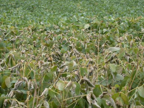 Frost damaged soybeans