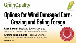 Options for Wind Damaged Corn - Grazing and Baling Forage Banner