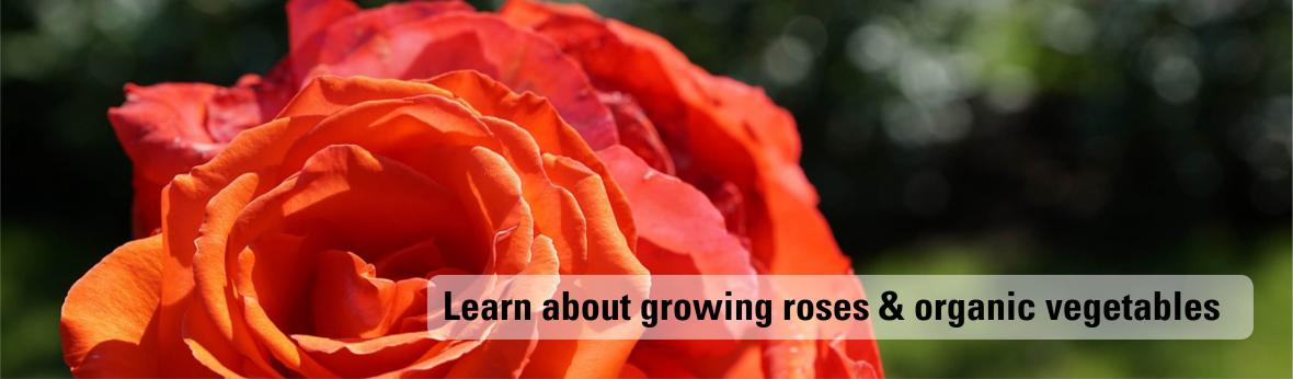 Learn about growing roses and organic vegetables
