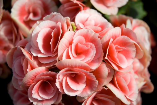 Yard And Garden Getting Tuberous Begonias Started Indoors News