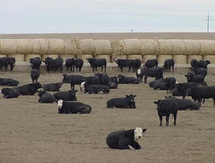 Cattle Feedlot