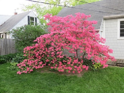 Yard And Garden Successfully Growing Azaleas And Rhododendrons News