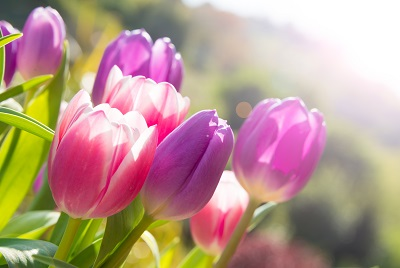 Pink and violet tulips growing outdoors by Maresol/stock.adobe.com.