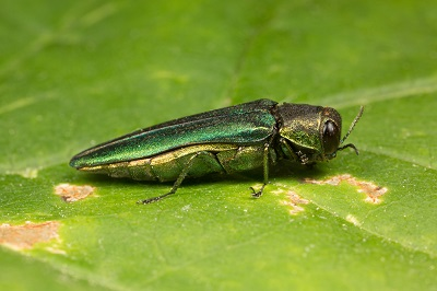 Emerald Ash Borer Side View by moneycue_canada/stock.adobe.com.
