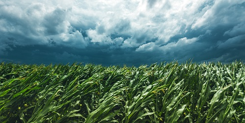 Corn field and stormy sky by Bits and Splits/stock.adobe.com.