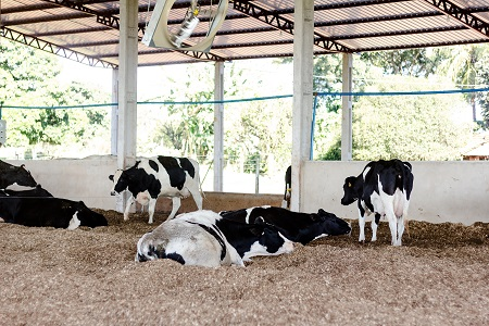 Dairy cattle in barn by Rafael Henrique/stock.adobe.com.