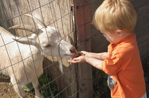 young child feeding a goat.