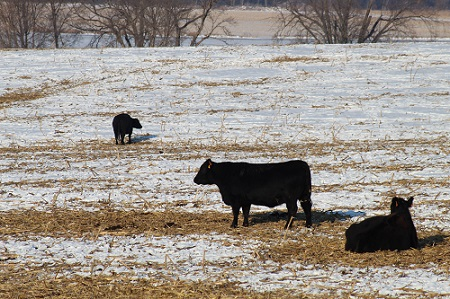 beef cattle in snow.
