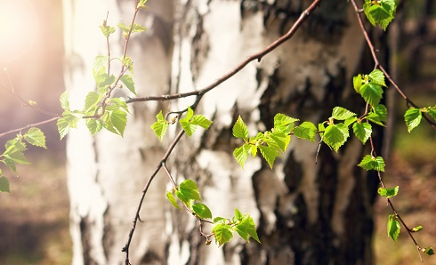 New birch leaves on branch in front of birch trunk by candy1812/stock.adobe.com.