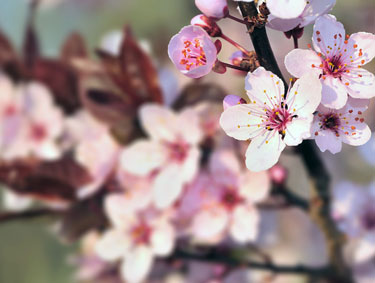 Yard And Garden Successfully Cultivating Cherry Trees In Iowa News