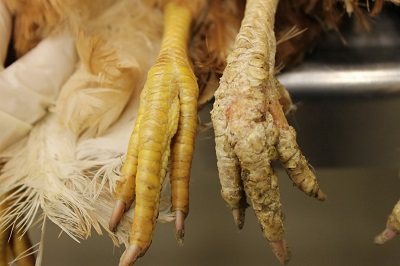 one healthy and one diseased chicken foot by Yuko Sato.