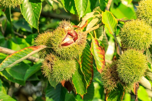 Chinese chestnuts in tree by Zhao jiankang/stock.adobe.com.