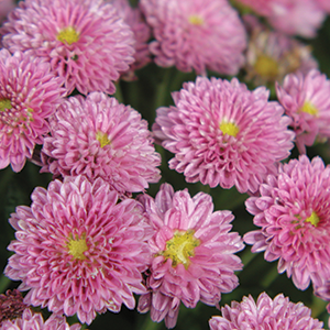 Yard and garden chrysanthemums news although my garden mums are supposedly winter hardy the plants often dont survive the winter why mightylinksfo