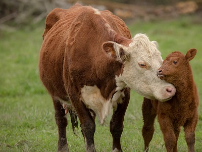 Image result for mother cow and calf