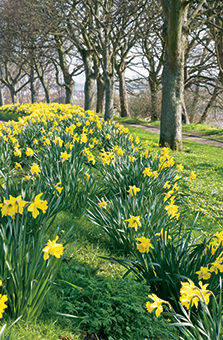 bed of daffodils.