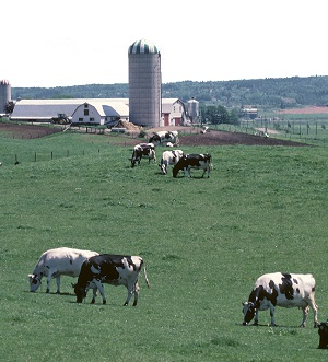 Dairy Cows Grazing On Pasture With Buildings In Background