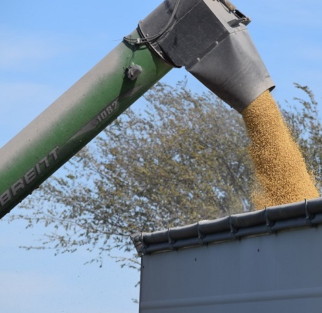 grain flowing from combine to gravity wagon.