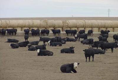beef cattle in feed yard.