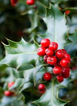 Yard And Garden Holly Mistletoe And Poinsettia News