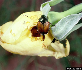 Yard and Garden: Japanese Beetles | News