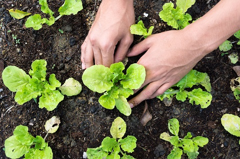 young lettuce plants by chaiyon021/stock.adobe.com